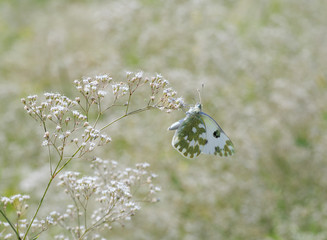 close up of Pontia edusa butterfly on meadow flower