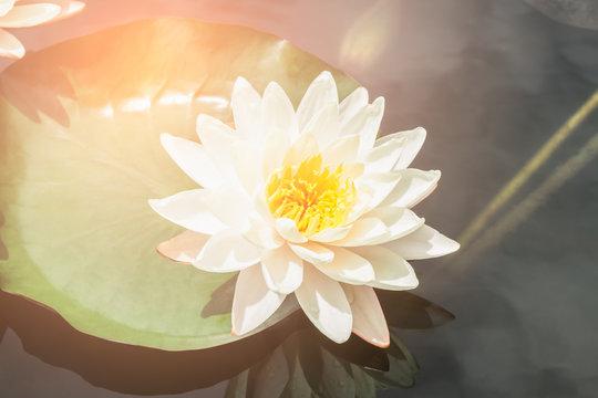 white lotus or water lily