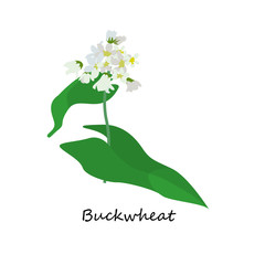 Buckwheat or Fagopyrum esculentum or Common Buckwheat. Illustration of Flower isolated on a white background. Vector eps10