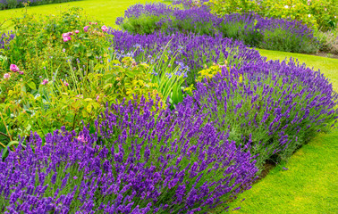 Beautiful, summer garden with lavender and roses