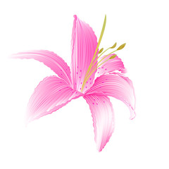 Spring flower Lily pink Daylily vector illustration