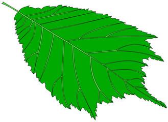 elm,(Ulmus glabra),
