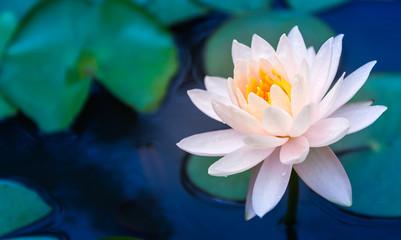 Lotus Flower Fototapete
