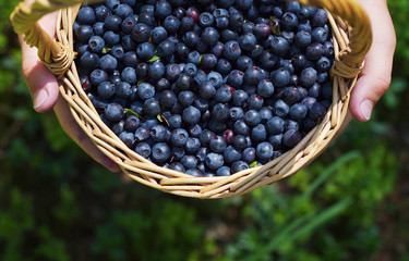 Berries of mature juicy bilberry in a basket in the child's hands in the summer in the wood, close up