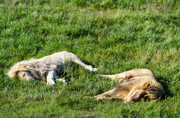Two lions, ordinary and white, lying on the grass