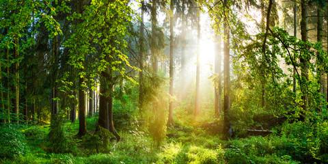 Fototapete - Sonnenaufgang im Wald
