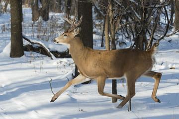 Wall Mural - Running Whitetail Deer