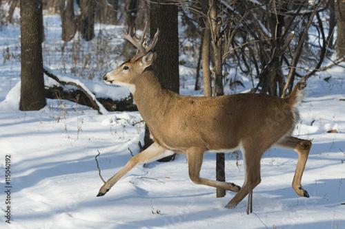 Wall mural Running Whitetail Deer