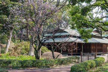 Japanese plum blooming in Tokyo Imperial Palace