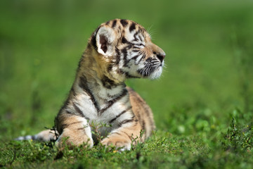 proud little amur tiger cub posing outdoors