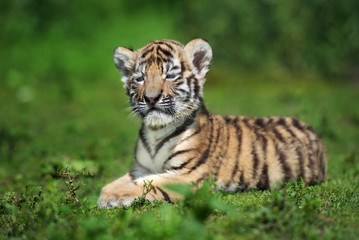 adorable amur tiger cub posing on grass