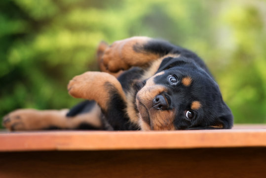 adorable rottweiler puppy lying down