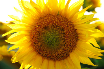 beautiful flower of a sunflower