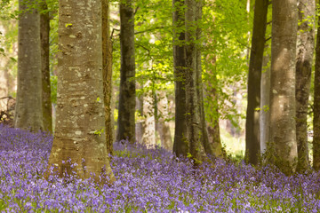 Poster Forets Blooming bluebells in Northern Ireland