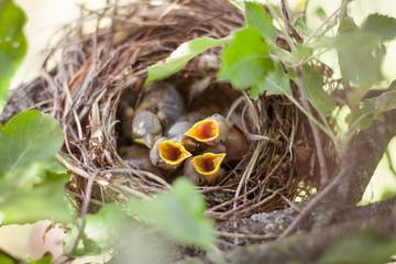 Newborn birds in the nest
