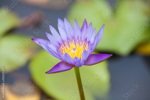 Lotus Flower Or Water Lily Inside A Pond Stock Photo And Royalty