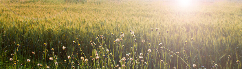 small flower in front of wheat field with sunlight of sunset
