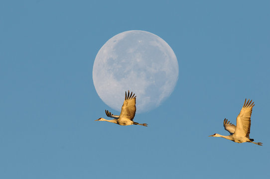 Sandhill Cranes and Moon