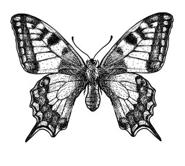 engraved, drawn,  illustration, insect, butterfly, swallow-tailed, Papilio