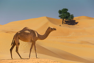 Photo sur Plexiglas Chameau Desert landscape with camel