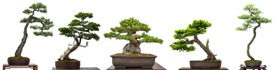 Foto op Canvas Bonsai Bonsai Bäume Nadelbäume aus Japan