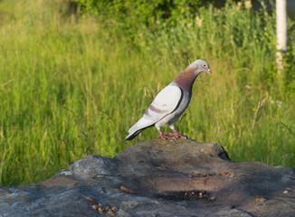 Taube auf einem Stein