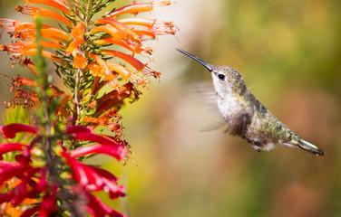 Anna's Hummingbird - Calypte anna. Santa Cruz, CA