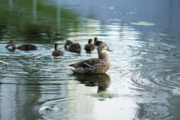 Wild duck bird in the lake or pond beautifull photo