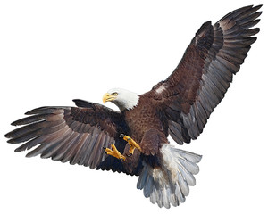 Bald eagle flying swoop hand draw and paint on white background vector illustration.