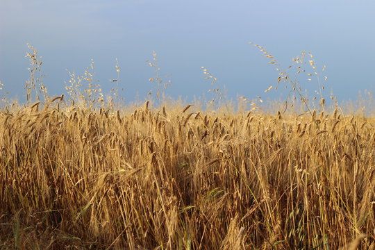 Golden dry yellow barley ripe field ready for harvest under sky