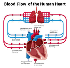 Chart showing blood flow of human heart