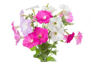 Bouquet of pink petunias