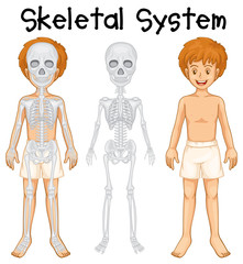 Skeletal system in human boy