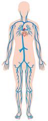 Blood vessels in human body