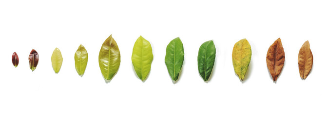 Leaves on white background, leaf aging process on white background