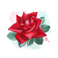 Watercolor illustrations of a rose flower