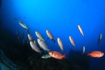 Fish underwater: Bigeyes