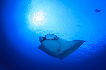 Manta Ray, scuba divers behind