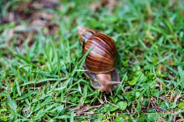 Burgundy snail crawling on green grass