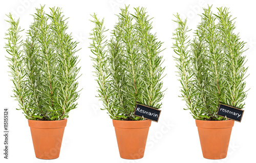 row of rosemary herbs in pot reihe rosmarin kr uter. Black Bedroom Furniture Sets. Home Design Ideas