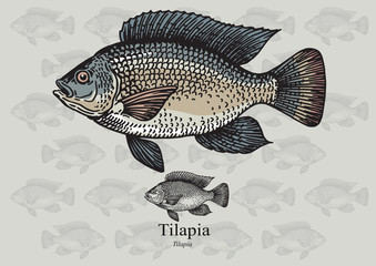 Tilapia fish. Vector illustration for web, education examples, graphic and packaging design. Suitable for artwork in small sizes.