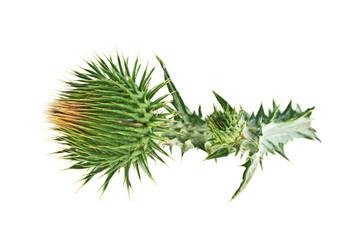 Milk Thistle plant (Silybum marianum) herbal remedy. Scotch this