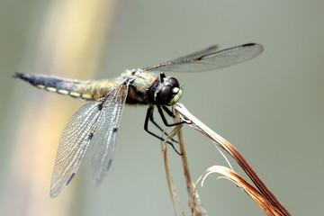 libellule brune sur s'accrochant à sa tige.