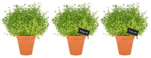 row of thyme herbs in pot / Reihe Thymian Kräuter Pflanzen in Topf