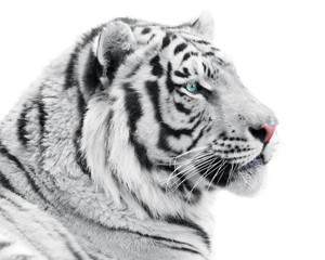 Proud white tiger