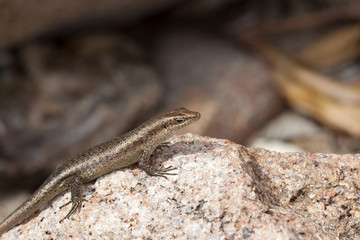 Lizard sunbathing at a rock