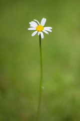 Single Daisy Empty Green Background
