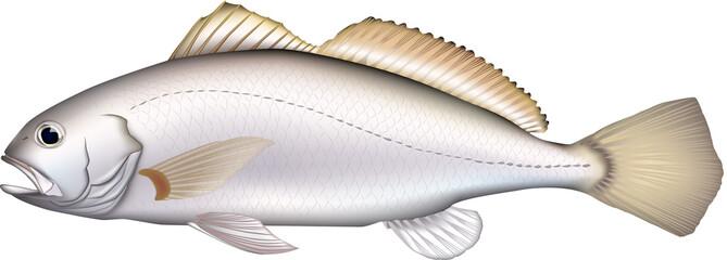 イシモチ 魚イラスト ベクター
