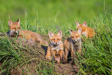 Four little foxes