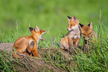 The gaping little fox